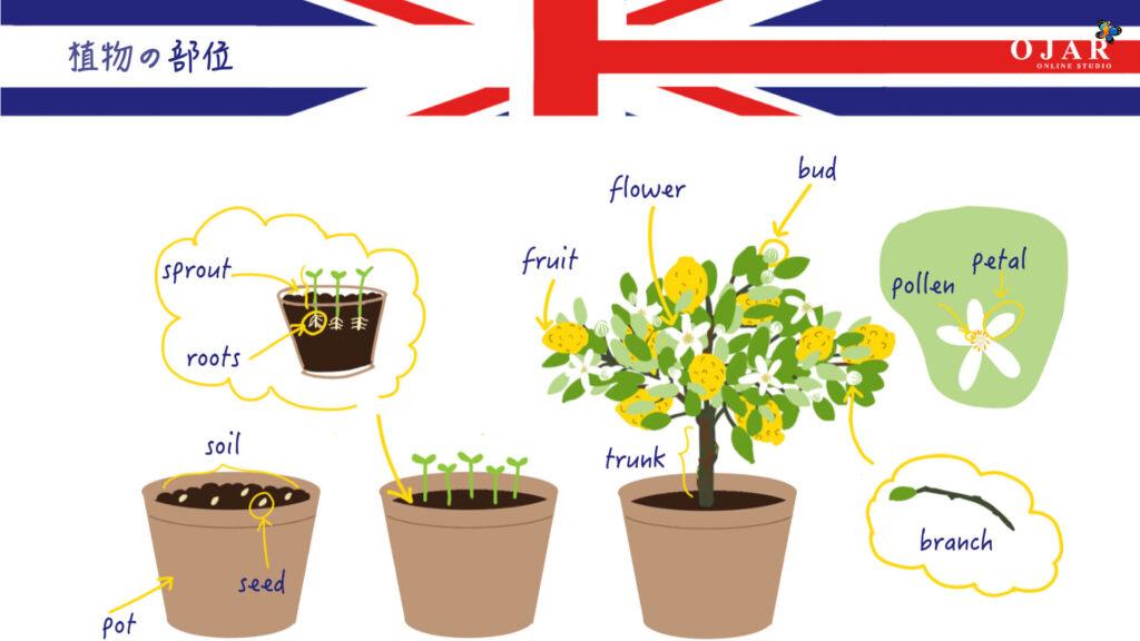 #49 The Lemon Pip parts of a plant